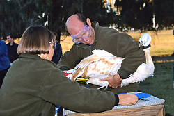 Checking Health Of Whooping Crane With Transmitter