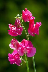 Lathyrus odoratus 'Millennium'. Sweet pea