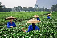 Girls are picking tea leaves.