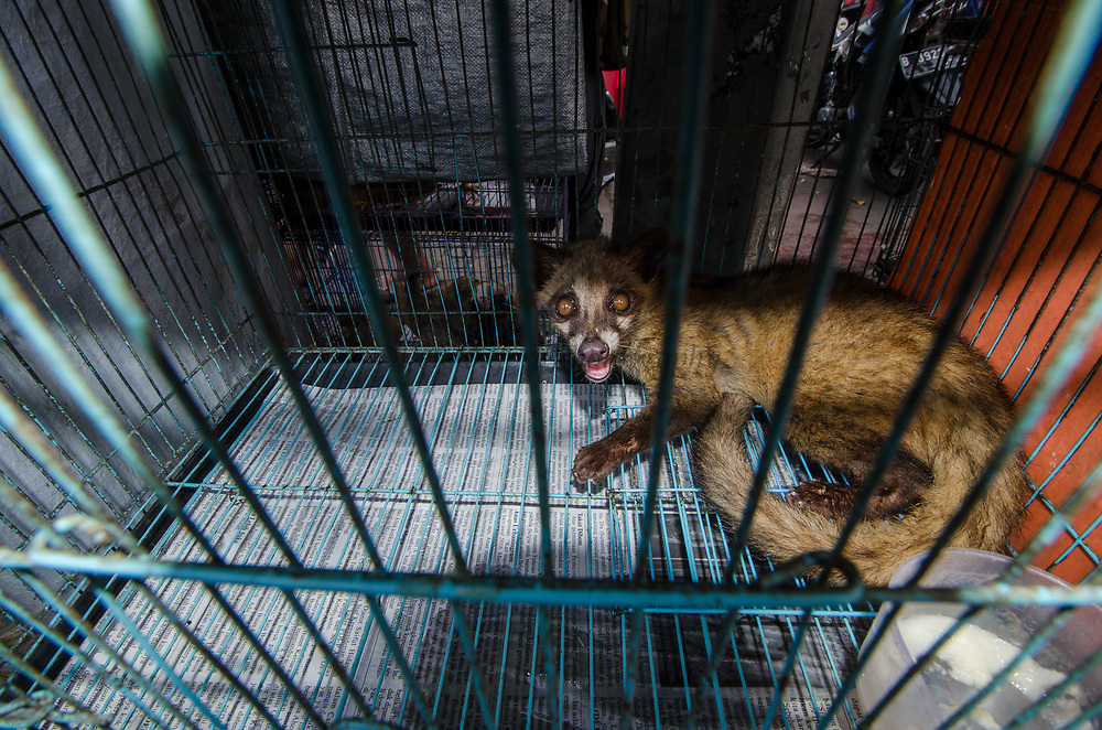 Civet in Animal market<br /> Jatinegara Animal market<br /> Jakarta<br /> Indonesia