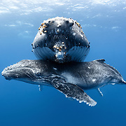 Male humpback whale calf (Megaptera novaeangliae) hanging out under his resting mother. From this angle, the acorn barnacles (Coronula diadema) attached to the adult humpback whale are clearly visible, as are the marks left from where barnacles have fallen off.
