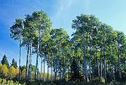Trembling aspen (Populus tremuloides) trees in aspen parkland<br /> Riding Mountain National Park<br /> Manitoba<br /> Canada