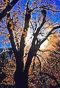 The Winter Sun Bursts Behind Oak Trees in Yosemite National Park California