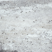 Elk herd migrating from summer to winter range.