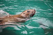 A curious steller sea lion (Eumetopias jubatus) in Prince WIlliam Sound near Valdez, Alaska.