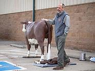 Calving Demonstrator Cow and calf Model