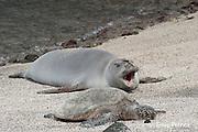 Hawaiian monk seal, Monachus schauinslandi ( Critically Endangered ), 2.5 year old male resting on beach during annual molt, along with a small green sea turtle, Chelonia mydas, beach, yawns at Pu'uhonua o Honaunau ( City of Refuge ) National Historical Park, Kona, Hawaii ( the Big Island )