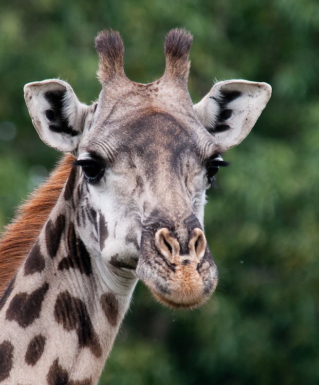 The Giraffe - Twiga