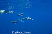 Eastern spinner dolphins, Stenella longirostris, bowriding, off Baja California, Mexico ( Eastern Pacific Ocean )