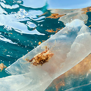 A sargassum swimming crab (Portunus sayi) takes shelter in a drifting plastic bag. Ocean currents bring floating mats of sargassum and, increasingly, plastic and other debris together. It is estimated plastic will out-weigh fish by 2050 if trends continue. Image made off Contoy Island, Mexico.
