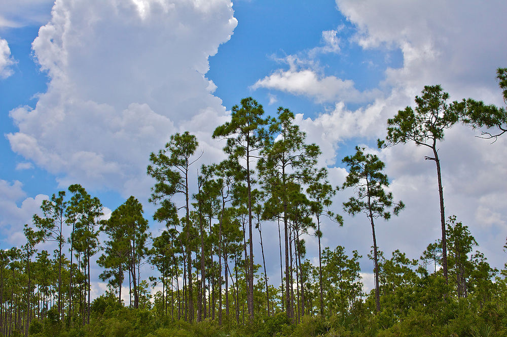 Everglades Pines and Storm Clouds, Summer