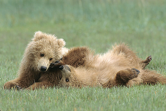 Alaskan Brown Bear, (Ursus middendorffi)  Cubs wrestling. Katmai National Park. Alaska.