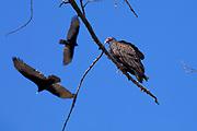 Turkey Vultures, Sepulveda Basin Wildlife Reserve, San Fernando Valley, Los Angeles, California, USA
