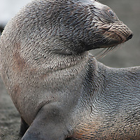 A young Southern Fur Seal relaxes on a beach at Gold Harbor, South Georgia, Antarctica.