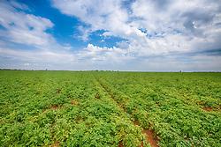 Plantação de batatas na zona rural de Uberaba-MG. FOTO: Jefferson Bernardes/ Agência Preview