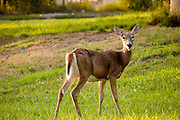 18 SEPTEMBER 2020 - FT. DODGE, IOWA: Whitetail deer graze in a park in the center of Ft. Dodge, Iowa. The deer are wild (not zoo raised) but have moved into the center of town.        PHOTO BY JACK KURTZ