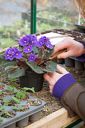 Taking leaf petiole cuttings from Saintpaulias (African Violets). Removing leaf with a knife