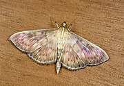 Close-up of a Mother-of-Pearl moth (Pleuroptya ruralis) resting with open wings on a wooden panel in a Norfolk garden in late summer.