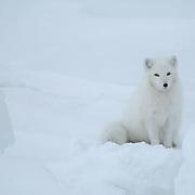 Arctic Fox (Alopex lagopus)Winter fur coat phase, sitting in snow. Near Churchill, Manitoba. Canada. Winter.