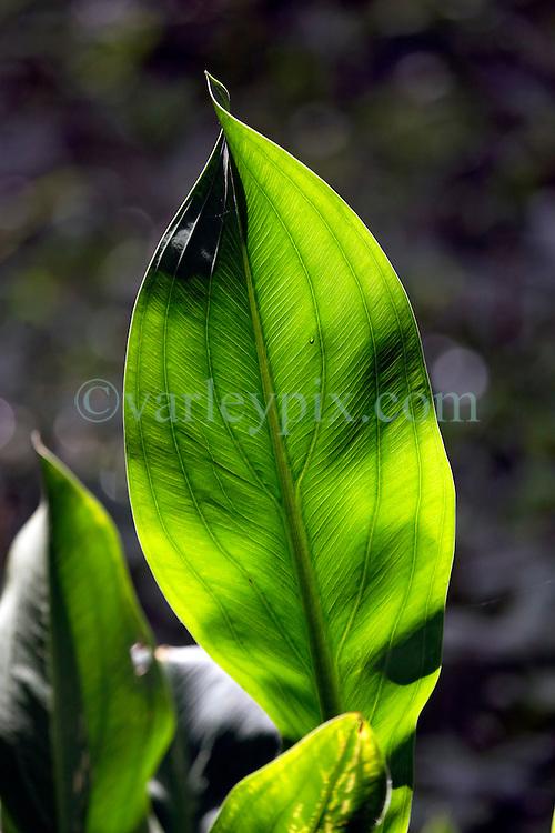 01 June 2015. Jean Lafitte National Historic Park, Louisiana.<br /> Light shines through a leaf at the Barataria Preserve wetlands south or New Orleans. <br /> Photo©; Charlie Varley/varleypix.com