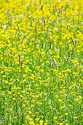 Meadow buttercups, Ranunculus acris, in summertime, UK
