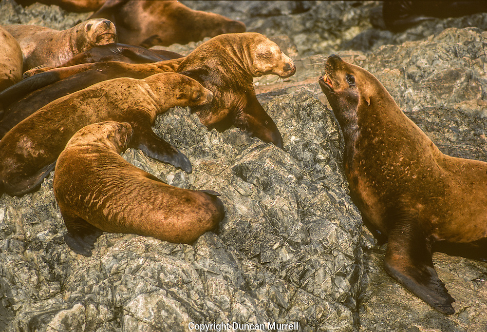 Observing sea lions at close quarters at their haul-outs was like going to a circus, because there always so much going on to entertain and amuse. They are such noisy and smelly places, and sometimes I had to crawl through the foul, stagnant rockpools to get amongst them, but it was always worth it. There was often sparring going on between the big bulls, which involved a lot of heaving and wheezing, and roaring. If they weren't sparring then they would be posturing in  a high and mighty fashion with their heads thrown back and their chests puffed out. Younger bulls appeared to congregate in gangs like delinquents hell-bent on mischief, usually directed at the less mobile larger bulls. One of the funniest incidents I have ever seen in the animal kingdom was when there was a big bull teetering on a narrow ledge on a rock-face about 2 metres above the sea. Beneath him there were some mischievous juveniles that were leaping up at him out of the water to nip him on his exposed posterior that he was unable to protect because of his precarious situation. He was getting understandably very irritated, and eventually fell off the narrow ledge into the sea making a big splash: it was hilarious! I also enjoyed watching the juveniles playing in the tidal surges that swept them back and forth along channels between the rocks. Sometimes when I was paddling in big swells with waves crashing onto the rocks I marvelled at how the sea lions revelled in the opportunity to play close to the rocks in sea conditions that were threatening to me.
