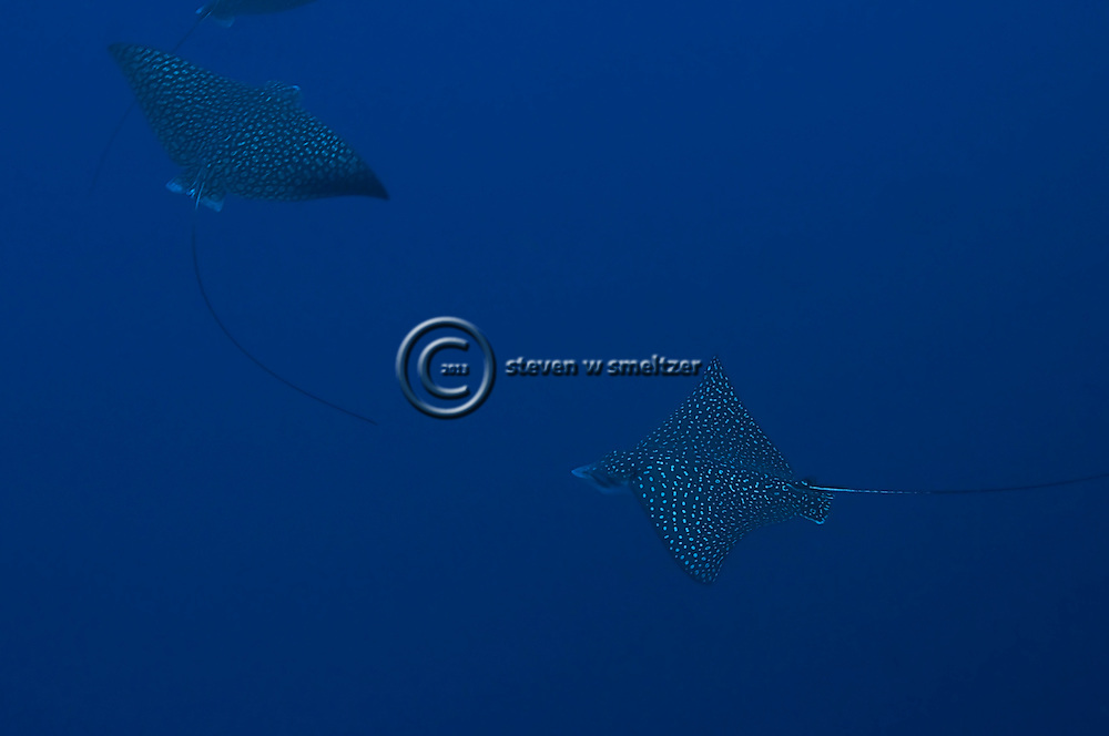 Spotted Eagle Ray, Aetobatus narinari, Grand Cayman
