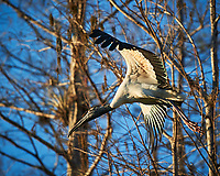 Wood Stork taking off in Big Cypress Swamp. Image taken with a Nikon D3s camera and 70-200 mm f2.8 lens (ISO 200, 200 mm, f/2.8, 1/2000 sec).