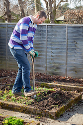 Digging in green manure - Phacelia tanacetifolia - Scorpion weed - in a border in the vegetable garden