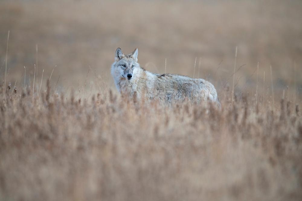 Tibetan wolf, Canis lupus filchneri, in the semi-desert of the Dulan nature reserve, Tibetan Plateau, Qinghai, China