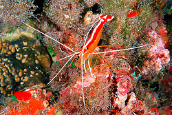 scarlet cleaner shrimp, Lysmata amboinensis, Kona, Big Island, Hawaii, Pacific Ocean