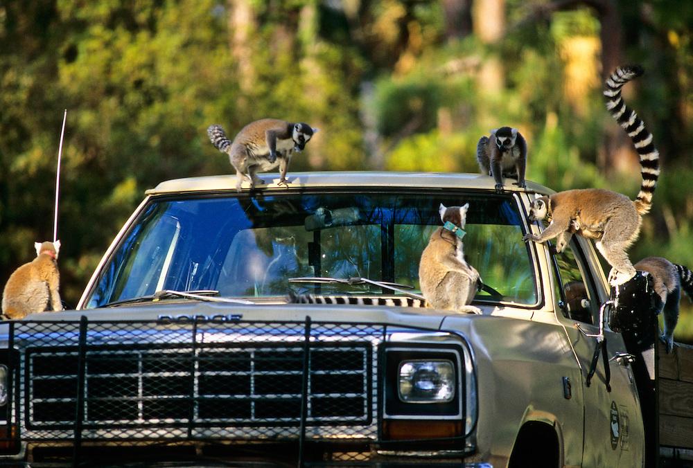 Lemurs climbing on a truck at a wildlife park along the Atlantic Coast.