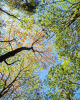 Treetops in the Cohutta Wilderness, Chattahoochee National Forest