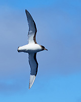 Cape Petrel (Daption capense). South Atlantic Ocean. Viewed from the deck of the Hurtigruten MS Fram. Image taken with a Fuji X-T1 camera and 60 mm f/2.8 macro lens.