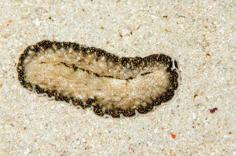 Flatworm undescribed (Acanthozoon sp.)<br /> Banda Sea<br /> Indonesia