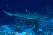 white-tipped reef shark, Triaenodon obesus, is cleaned of parasites by cleaner wrasses, Labroides dimidiatus, Layang Layang Atoll, Malaysia ( South China Sea )