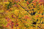 Autumn maple tree at peak color, Vermont, USA.