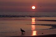 Bald Eagle, Haliaeetus leucocephalus, silhouetted against setting sun, Kenai Peninsula, Homer Spit, Homer, Alaska. Digital original, #2006_1583 ©Robin Brandt