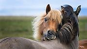 The magnificent icelandic horse.