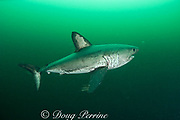 salmon shark, Lamna ditropis, female with mating scar on side and copepod parasites trailing from fins, Port Fidalgo, Prince William Sound, Alaska, U.S.A.; this apex predator, sometimes called the Pacific porbeagle, is a mackerel shark in the order Lamniformes; it swims in cold water, but is warm-blooded ( homeothermic )