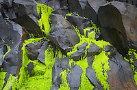 Sea moss on black volcanic rock, Cape Perpetua Oregon