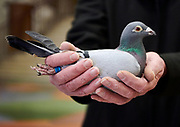 Pigeon held by Slim Timmies, from Bradwell, UK