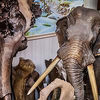 Nederland, Hoofddorp, 21 september 2016.<br /> Dick Mol, de sabeltandkattenexpert toont zijn liefde voor uitgestorven diersoorten zoals de mammoet en de sabeltandkat. Ook heeft hij fossiele hoektanden van deze kat in zijn verzameling. <br /> <br /> Netherlands, Hoofddorp, September 21, 2016.<br /> Dick Mol, the machairodontinae expert shows his love for extinct animals such as the mammoth and the saber-toothed cat. He also has fang fossil of this cat in his collection.<br /> <br /> Foto: Jean-Pierre Jans