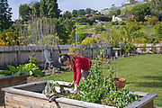 Pruning a Pea plant. Urban garden encircles house in Rancho Palos Verdes. Judy Frankel's three year old garden has a variety of citrus, Nectarine, Peach, Apple and Cherry trees as well as seasonal vegetables in planting beds in the back yard. Rancho Palos Verdes, Los Angeles County, California, USA