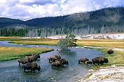 Bison cross Firehole River, Yellowstone National Park, Wyoming