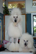 two standard white poodles one standing the other lying