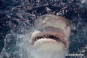 tiger shark, Galeocerdo cuvier, lunging for bait, showing distintively-shaped teeth, and ampullae of Lorenzini ( electro-sensory pores ) on snout, North Shore, Oahu, Hawaii, USA ( Central Pacific Ocean )