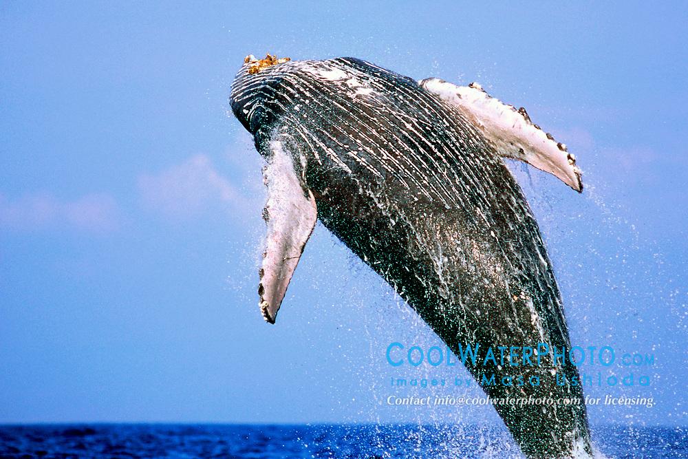 humpback whale breaching, Megaptera novaeangliae, Hawaii, Pacific Ocean
