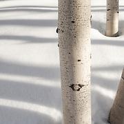 Winter aspen trees and their shadows. Park City, Utah.