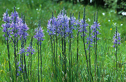 Camassia cusickii growing in the long grass in the meadow at Great Dixter. Quamash